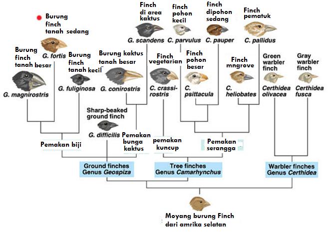 Pohon evolusi Finch Darwin