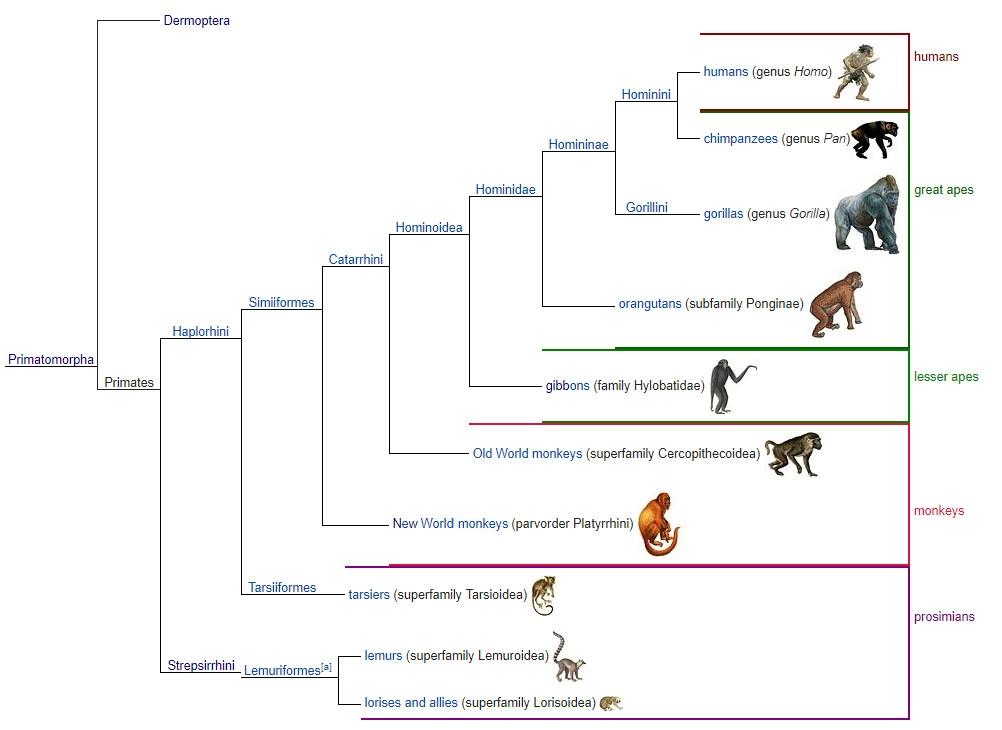 Representasi jalur evolusi antara Eosimias dan anthropoidea, termasuklah manusia